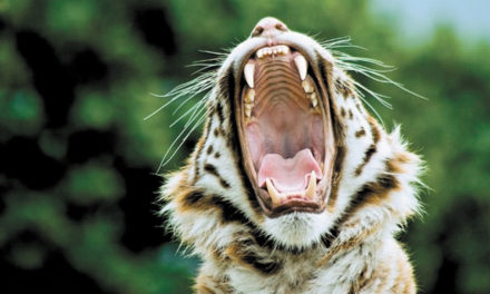 What Do Tiger's Varied Sounds Mean? A Woman Investigates