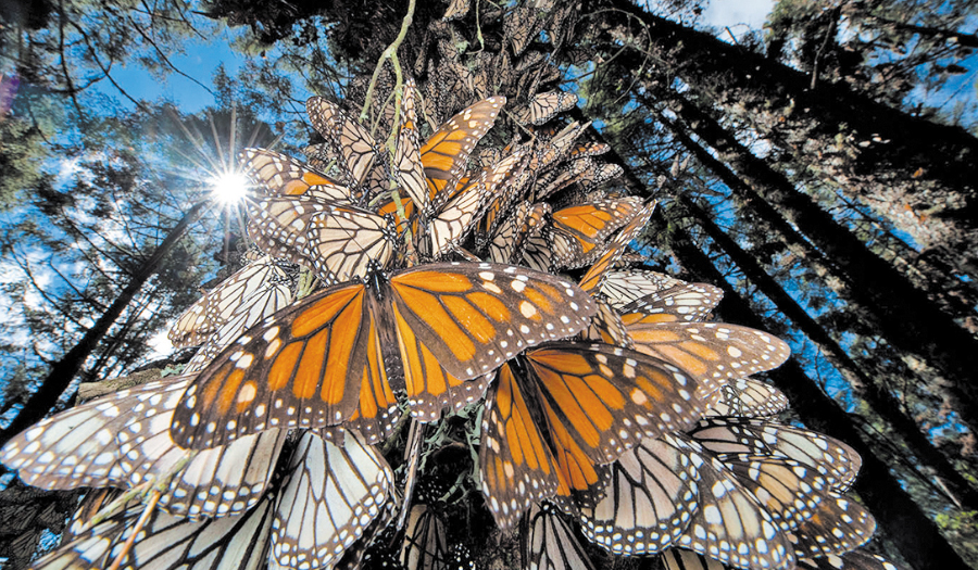 Sartore_ButterflyMigration