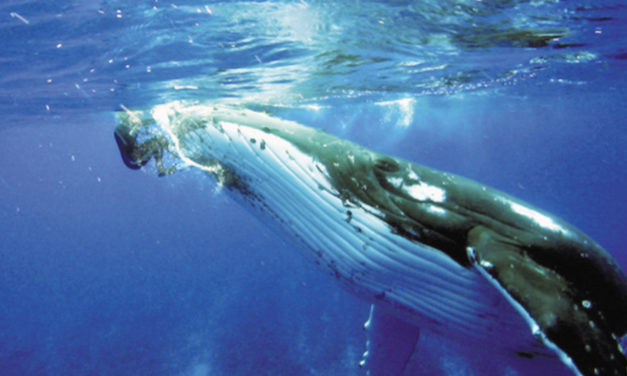 Biologist Says Whale Protected Her From Tiger Shark