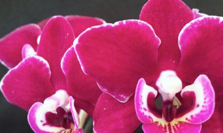 Ironwood Estates Orchids Free Open House Feb. 9-14