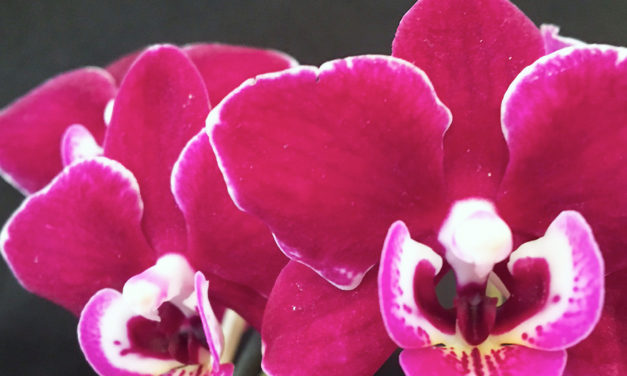 Ironwood Estates Orchids Free Open House Feb. 9-14