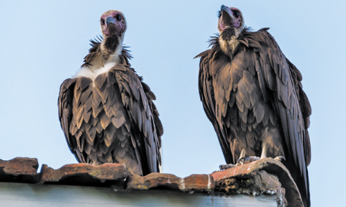 Buzz Off: Ohio College Wants  Vultures To Leave Campus