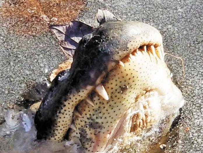 alligator-IceNC