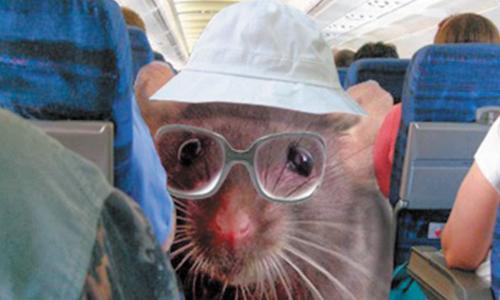 Rat Boards California Flight, 110 Passengers Exit