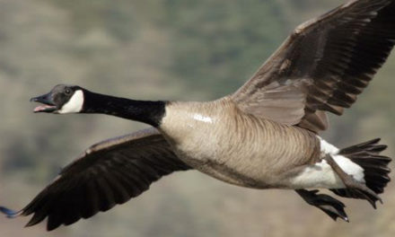 Dead Goose Falls From Sky, Knocks Hunter Unconscious