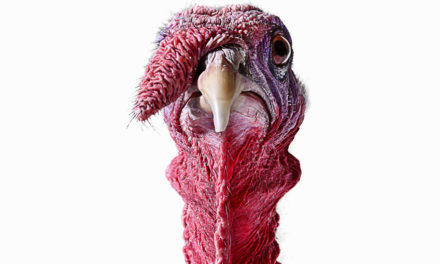 Two Male Turkeys Harassing Ohio Postal Carriers Euthanized