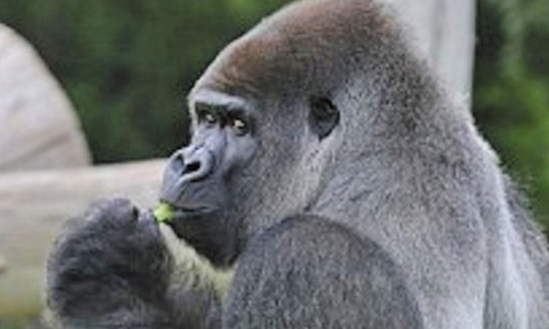 Gorilla At Philadelphia Zoo Takes Stand Against Dirty Hands