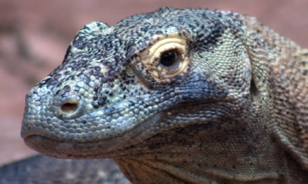Four-Legged Fugitive: Big Lizard Escapes California Pet Shop