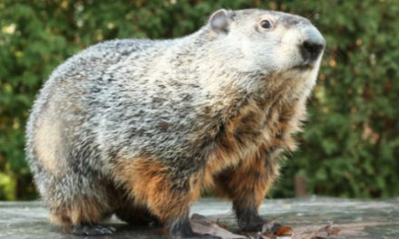 Is Punxsutawney Phil On  America's Most Wanted List?