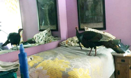 Be On The Lookout For Peeping Tom, A Home-Invading Turkey