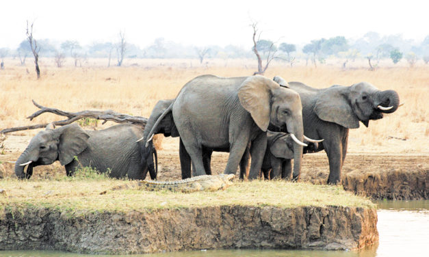 AP Report: African Elephants Not Yet Safe From Poaching