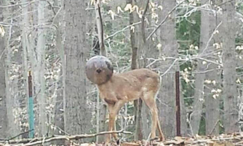 Buck Kicked Out Of Herd Due To His Appearance Is Rescued