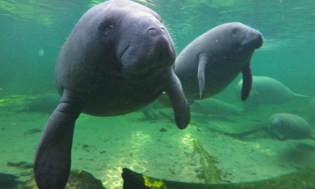 Man In Hot Water After Splashing Near Mating Manatees