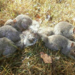 Six Young Squirrels Rescued From Ordeal Of Tangled Tails
