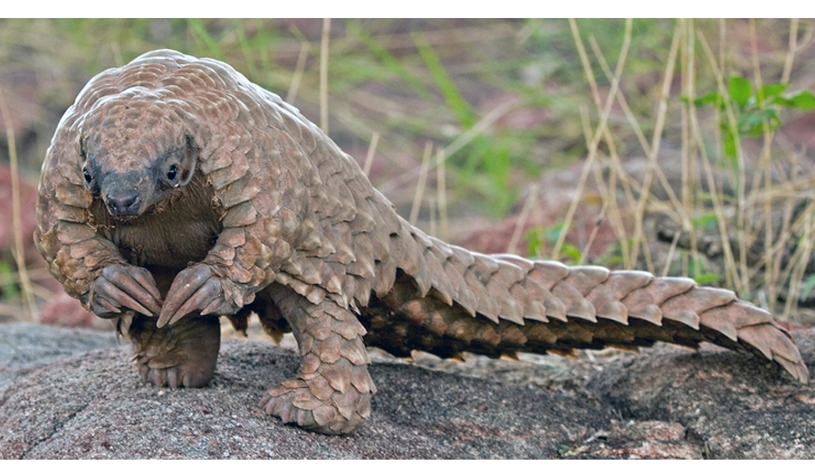 South African Pangolin Refuge Planned As Numbers Drop
