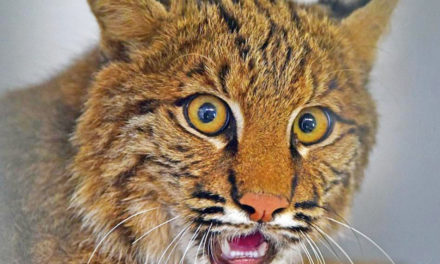 Woman Strangles Bobcat To Death In Front Yard In Georgia