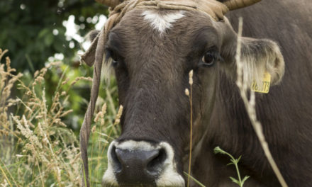 Her Life Saved, Bulgarian Cow Penka Waits To Rejoin Herd