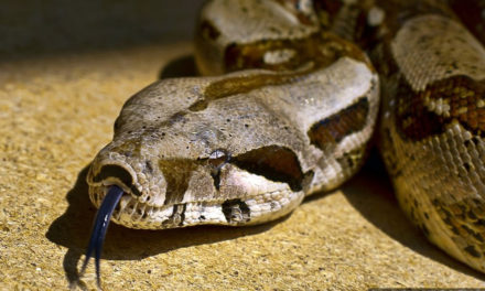 Sneaky Vinny, A 7-Foot Boa  Constrictor, Is Missing