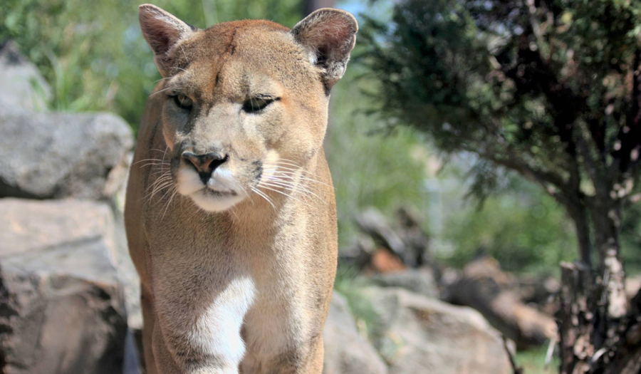 Mountain Lion Breaks Into Home, Kills House Cat In Colorado