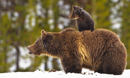 US Judge Blocks First Planned Grizzly Bear Hunt In Nearly Thirty Years, Restoring Protections