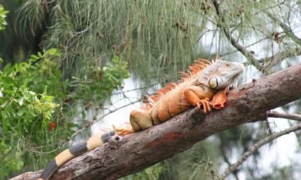 Chicken Of The Trees: Eating South Florida's Iguanas