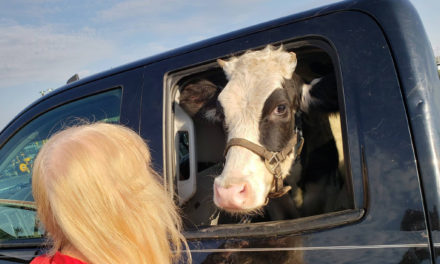 Ohio Man Says Rescued Cow Is A Regular Backseat Passenger