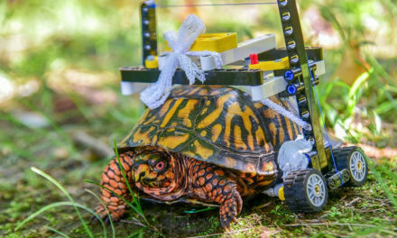 Wild Turtle In Lego Wheelchair Headed For Brumation Now