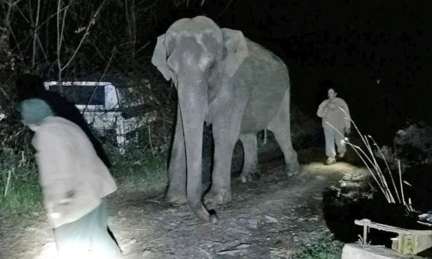 Fritha The Elephant Is Back In  Custody After Late Night Escape
