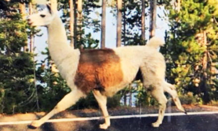 Ike The Pack Llama Saved From Winter Alone In Yellowstone