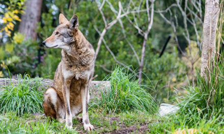 DNA Of Red Wolf Declared  Extinct Found In Wild Dogs In TX