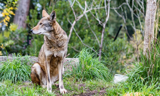 DNA Of Red Wolf Declared  Extinct Found In Wild Dogs In TX