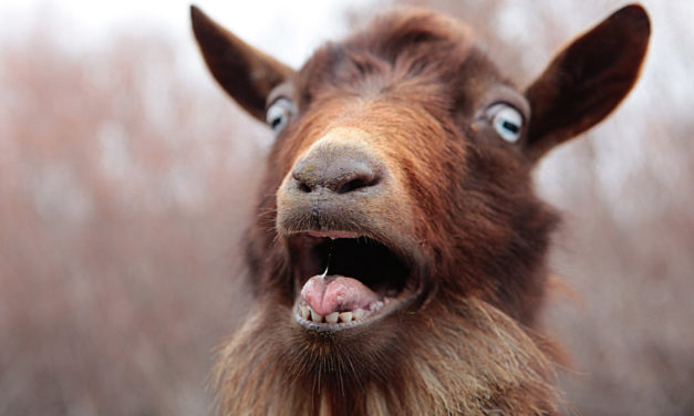 """CA Town Launches """"Goat Fund Me"""" To Clear Brushy Areas"""