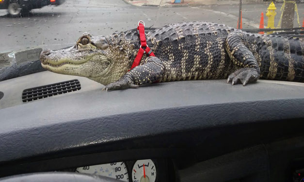 Man Finds Emotional Support With His Alligator – Meet Wally
