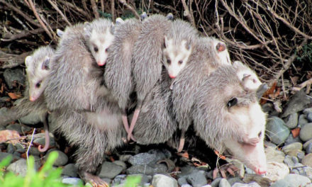 Hungry Opossums Could Help In Fight Against Lyme Disease