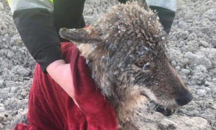 Workers Shocked To Find Out They Saved A Wolf From Icy River