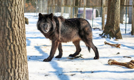 Howling Timbers Exotic Animal Rescue Cares For 52 Wolf Dogs