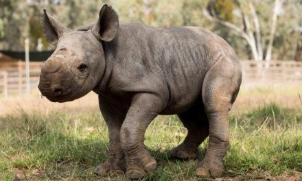 Florida Refuge Raising Rare Baby Rhinos & Forest Antelope