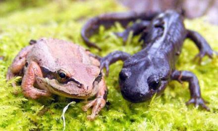 Volunteers Count Frogs And Salamanders At Road Crossings