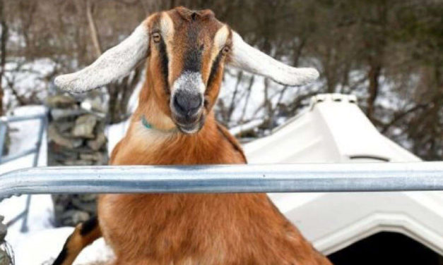 Town Elects Goat As Honorary Pet Mayor In Vermont