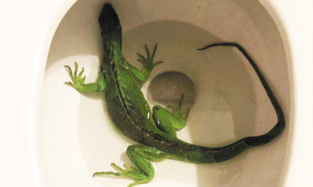 Man Finds Bright Green Iguana In The Toilet!