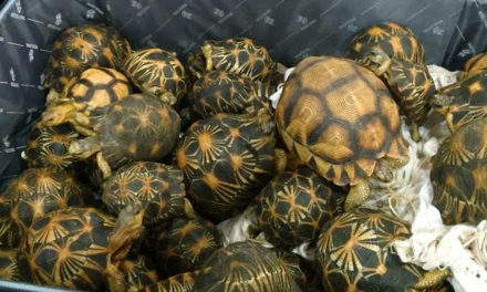 Turtle Smuggler Caught With Suitcases Packed
