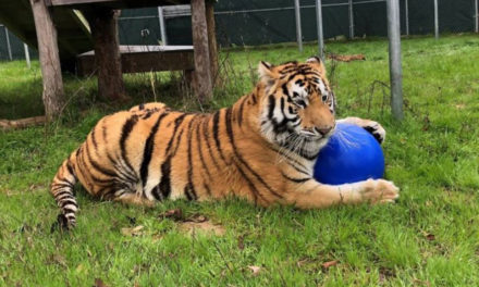 Judge Ruled That Animal Shelter May Keep Rescued Tiger