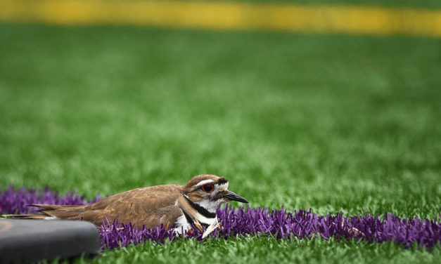 Soccer Teams Move After  Killdeer Lays Eggs On Fake Turf