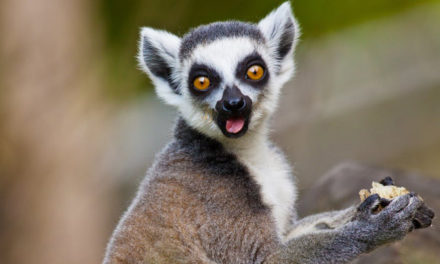 Plea Agreement In Case Of  Lemur Stolen From California Zoo