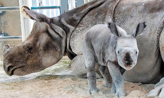 Rare One-Horned Rhino Born In Miami Zoo