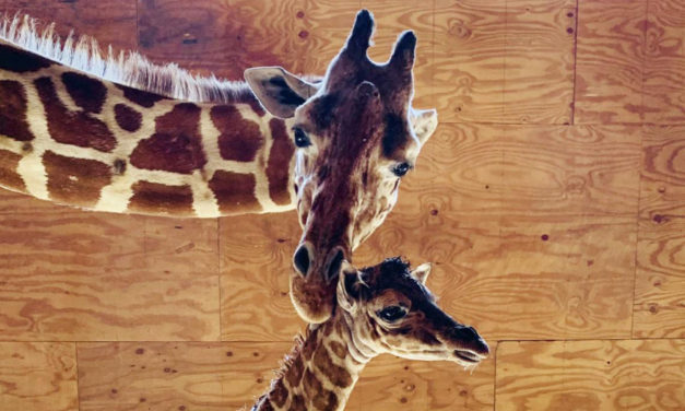 April The Giraffe Will Be Enjoying Retirement With Kids