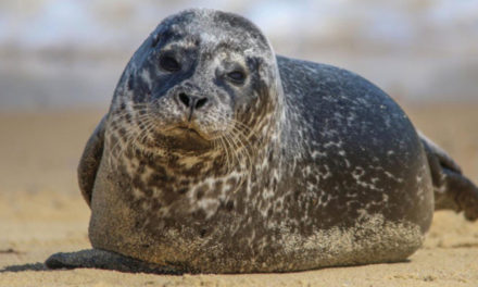 Study Shows Gray Seals Can Sing Twinkle, Twinkle, Little Star