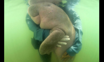 Vets Care For Lost Baby Dugong