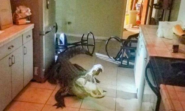 Thirsty? Gator Busts Kitchen Window & Breaks Wine Bottles