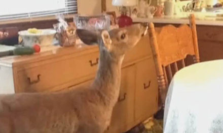 Police Surround House To Find Burglar Is A Deer